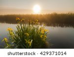 Beautiful Yellow Iris Flowers...