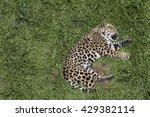 Jaguar  Panthera Onca  Sleepin...
