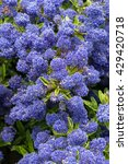 Small photo of Ceanothus Shrub - Variety is Silver Surprise