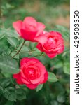 pink blossoming roses. | Shutterstock . vector #429503350