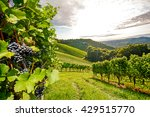 ripe grapes in an old vineyard... | Shutterstock . vector #429515770