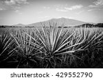 agave tequila landscape to... | Shutterstock . vector #429552790