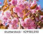 sakura blossoming flowers... | Shutterstock . vector #429581350