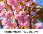 close up of the pink flowers of ... | Shutterstock . vector #429583999