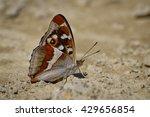Small photo of Aglais iris (Purple Emperor) butterfly