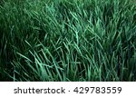 Background Of Green Reeds With...