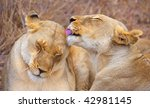 Two lionesses (panthera leo) cleaning each other lying in savannah in South Africa