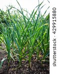 Small photo of garlic field in the garden Allium sativum