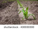 Field Planted With Corn  In The ...