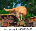 Stock photo red cat is going to jump off the old brick fence selective focus photo on a bright sunny day 430135690