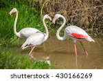 flamingo at the zoo. | Shutterstock . vector #430166269