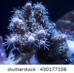 Small photo of Wolverine Acropora Coral