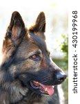 Small photo of Portrait of a beautiful black german shepherd (alsatian dog)