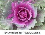 Beautiful Ornamental Kale Or...