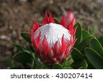 Beautiful Red And White Protea...