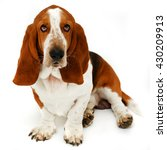 Small photo of Basset Hound, 2 years old, sitting in front of white background