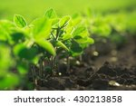 young soybean plants growing in ... | Shutterstock . vector #430213858