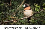 chestnut breasted mannikin... | Shutterstock . vector #430260646