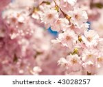 Sakura japanese cherry blossoms - stock photo
