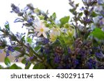 bunch of blue sage flowers in...   Shutterstock . vector #430291174