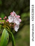 Small photo of Mountain laurel in bloom, Kalmia Latifolia, is a flowering plant in the heather family also known as calico-bush or spoonwood.
