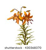 The branch of orange  lilies Asian hybrids with buds and a blossoming flower on a white background isolated