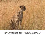 Male Cheetah Walking In Grass...
