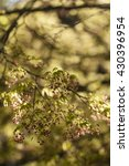 Small photo of Maple tree with yellow green leaves and Spring red flowers, Acer palmatum