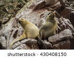 Two Sea Lions Lying On Rock