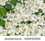 Small photo of Cluster of blossoming viburnum (Adoxaceae) flowers and leaves.