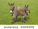 Gray Mother And Baby Donkeys O...