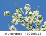 White Flowers Of Apple Trees...