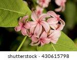 holarrhena pubescens holarrhena ...