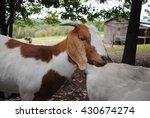 Friendly Boer Goat At The Farm.
