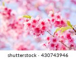 soft focus cherry blossom or... | Shutterstock . vector #430743946