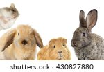 Stock photo set of rodents rabbit and guinea pig and hamster 430827880