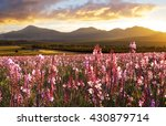 Pink Flowers In Full Bloom At...