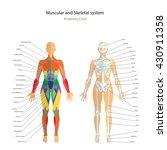 anatomy guide. female skeleton... | Shutterstock .eps vector #430911358