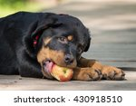 The Puppy Of Rottweiler Lie On...