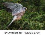 Flighty Kestrel. A Lovely Male...