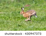 Stock photo hare running 430947373