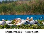 pelicans on water   Shutterstock . vector #43095385