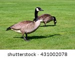 Couple Of Canada Geese Feeding...