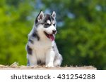 Siberian Husky Puppy Outdoors