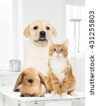 Stock photo labrador puppy and kitten looking 431255803