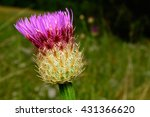 Small photo of Selective Focus Foreground Basket-flower (Plectocephalus americanus), or American star thistle partially open