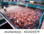Red Tilapia Fish Farming...