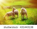 Little Lambs Grazing On A...