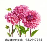Three Bright Pink Dahlias. ...