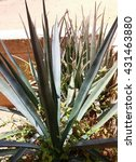 Small photo of Blue Agave tequilana plant